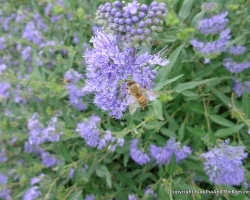 Bee on the blue mist spirea