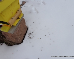 Dead bees in the snow