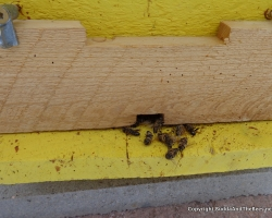 Dead bees on the landing board