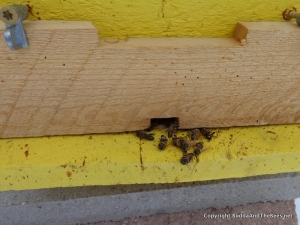 Dead bees on the landing board