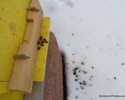 Dead bees after a cold snap