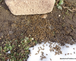 Dead bee collecting in front of the hive.