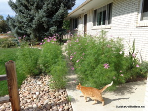 Cosmos taking over the front walkway.  Only room for a cat at this point.