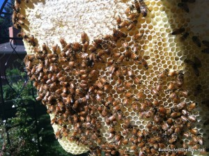 Band of honey above the brood.