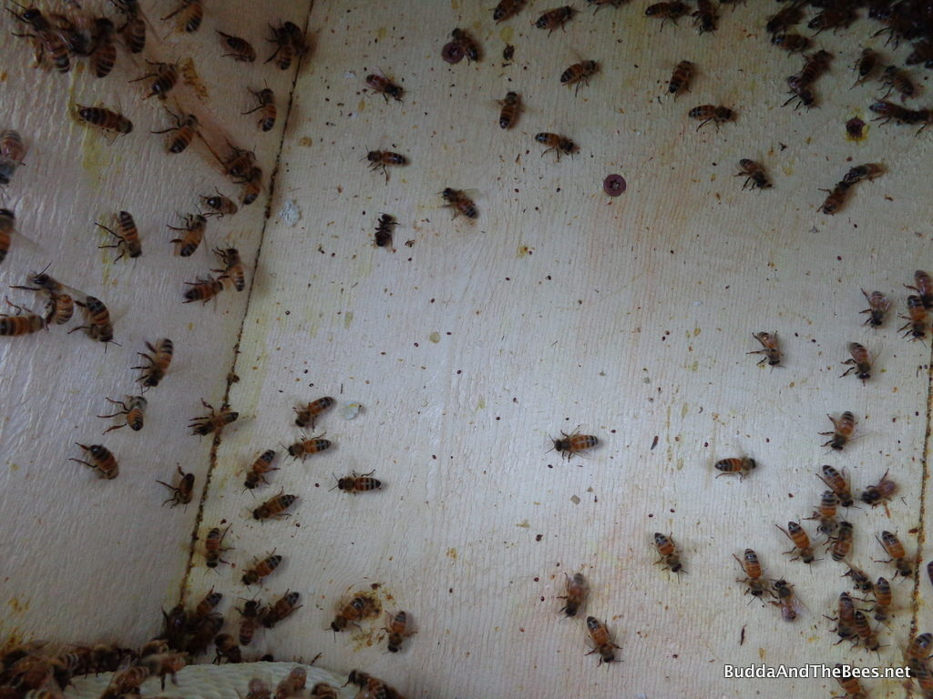 Dead mites at the back of Laura's hive