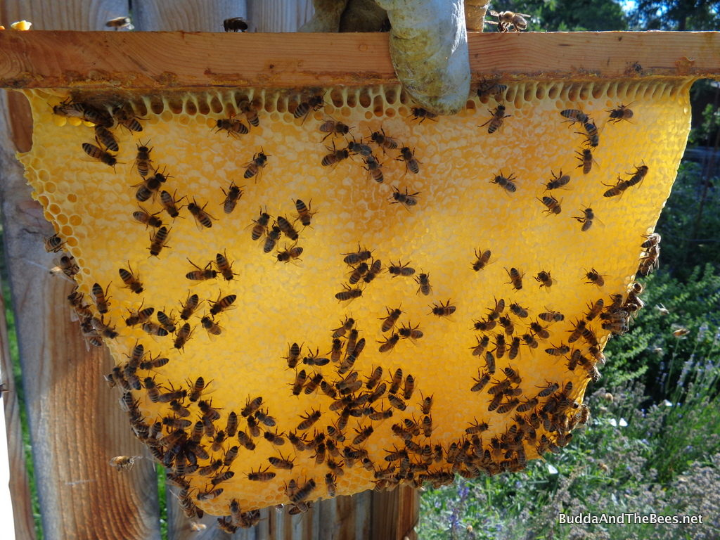Beautiful comb of honey