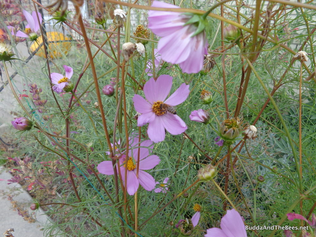 Bee on the cosmos