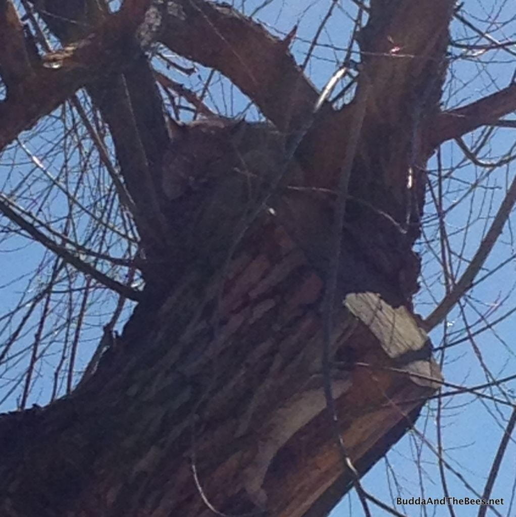 Bobcat in tree near Left Hand hive
