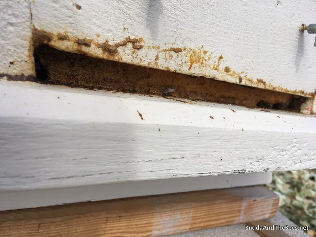 Sealing up the entrance with propolis